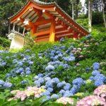三室戸寺のあじさい2016の見頃時期や開花情報!ライトアップはあるの?