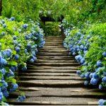 鎌倉明月院の紫陽花2016の開花状況と見頃の時期やアクセス方法