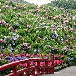 形原温泉あじさいの里2016の見頃の時期と開花状況!アクセス方法は?