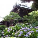 白山神社(文京区)のあじさい2016の開花・見頃の時期や駐車場情報