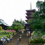 千葉県松戸市本土寺のあじさい2016の見ごろの時期や開花情報は?