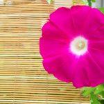 簡単♪折り紙で立体な朝顔の折り方!つぼみや葉っぱの作り方もあり