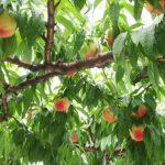 関西の桃狩りの時期と食べ放題でおすすめの日帰りバスツアーまとめ