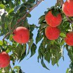 山梨県勝沼の桃狩りの時期や食べ放題でおすすめの日帰りバスツアーは?