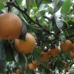 関東の梨狩りの時期や期間は?食べ放題でおすすめの人気スポット7選