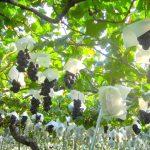 山梨県勝沼のぶどう狩りの時期や食べ放題でおすすめの人気農園6選