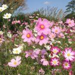 昭和記念公園のコスモス祭り2016の開花状況や見頃の時期