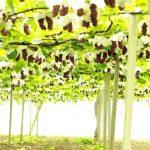 愛知県岡崎市のぶどう狩りの時期や食べ放題でおすすめの人気農園4選