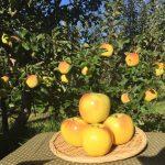 群馬県沼田市のりんご狩りの時期やぐんま名月のおすすめ人気農園5選