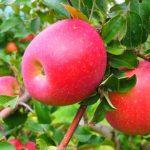 信州長野県のりんご狩りの時期やおすすめ農園ランキング!料金や品種は?